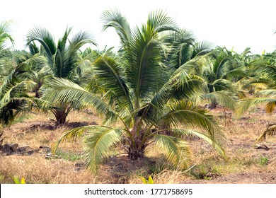Coconut farm plantation, coconut plam tree in Thailand.