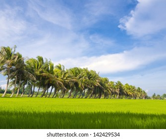 Coconut farm with rice fields bright sky background.