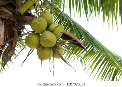 Coconut fruit branch on coconut tree