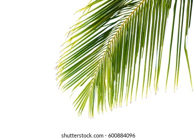 coconut green leaves isolated on white background