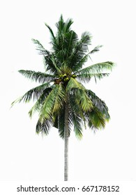Coconut green tree isolated on white