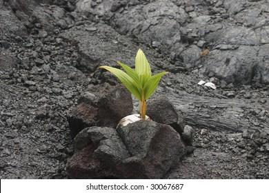 Coconut growing in lava rock