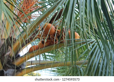 Coconut Grows on a Palm Trees somewhere in the Tropics