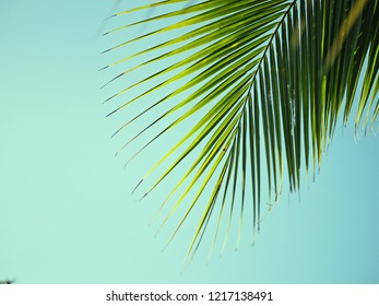 coconut leaf with blue sky background