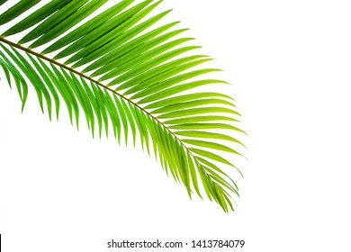 coconut leaf isolated on white background with clipping path