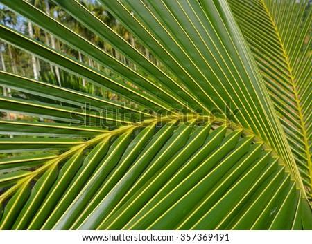 coconut leaf parts