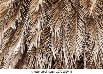 coconut leaves dry blackground