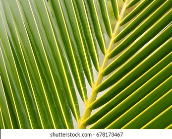 Coconut leaves natural background.