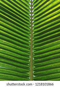 coconut leaves in nature background