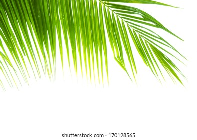 coconut leaves on white background