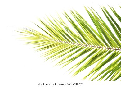 Coconut leaves white background