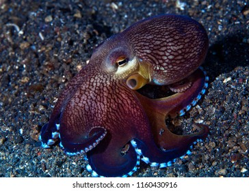 Coconut octopus (Amphioctopus marginatus) on sea floor. Lembeh Straits, Indonesia.