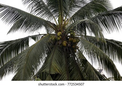 Coconut on the cocunut tree