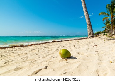 Coconut on the sand in Raisins Clairs beach in Guadeloupe, French west indies. Lesser Antilles, Caribbean sea