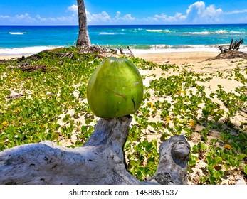 Coconut on a tropical beach