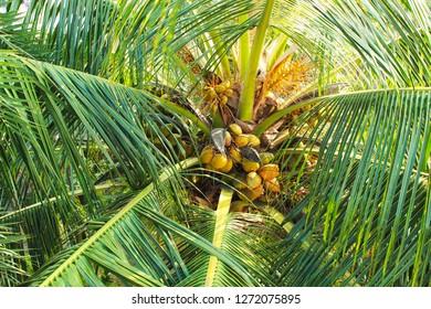 NEW nucifera. var 1 bulb Coconut Cocos nucifera L
