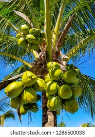Coconut palm with fresh coconuts