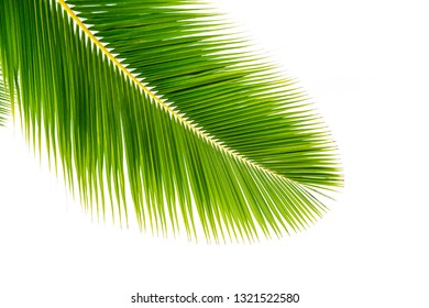 Coconut palm leaf isolated on white background.