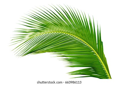 The coconut palm leaves isolated on white background. This has clipping path.