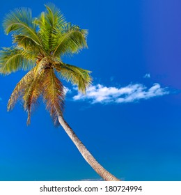 Coconut palm on caribbean beach with white sand