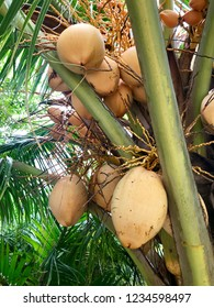 coconut palm with orange coconuts on