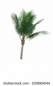 Coconut palm stand alone isolated on white background.