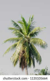 coconut or palm tree.