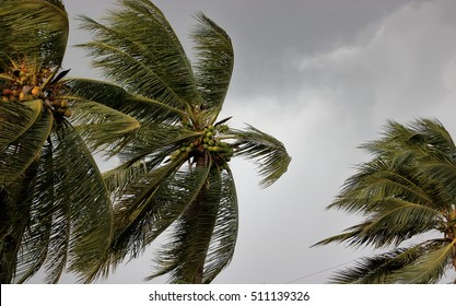 Coconut palm tree blowing in the winds before a power storm or hurricane