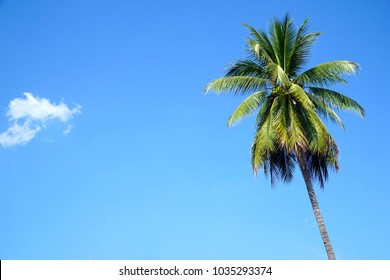 Coconut palm tree with blue sky background. Summer background. Vacation.