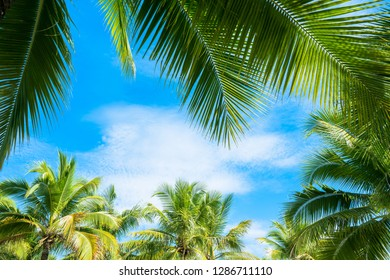 Coconut Palm tree with blue sky.