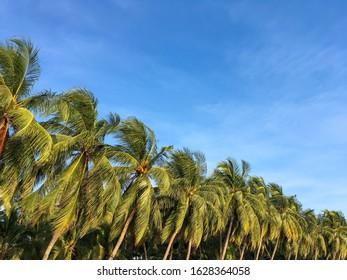 Coconut palm tree and blue sky at bang sean beach, Chonburi, Thailand, site views