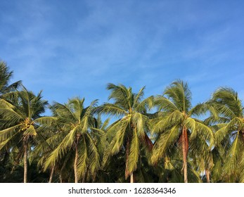 Coconut palm tree and blue sky at bang sean beach, Chonburi, Thailand, Front views