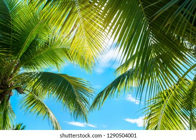 Coconut Palm tree with blue sky,beautiful tropical background.