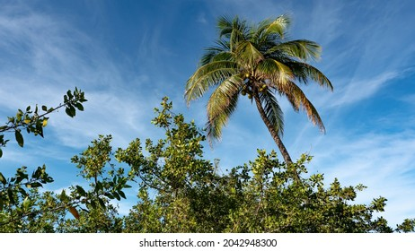 A coconut palm tree with  a bunch of coconuts towers over other flora on the lagoon side of the road in Cancun, Quintana Roo, Mexico.