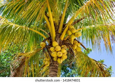 Coconut palm tree (Cocos nucifera) with yellow fruit - Topeekeegee Yugnee (TY) Park, Hollywood, Florida, USA