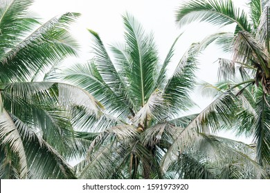 Coconut palm tree foliage under sky. Palm plantation at east asia.