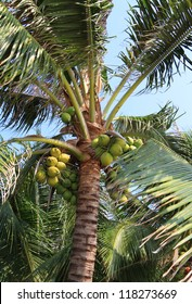 Coconut palm tree with fruits against the sky