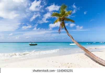 Coconut palm tree grows on white sandy beach of Saona island. Caribbean Sea coast, Dominican republic