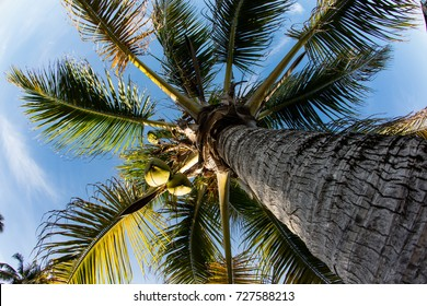 A Coconut palm tree grows on a remote tropical island.