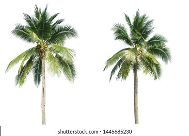 Coconut palm tree isolated on white background.