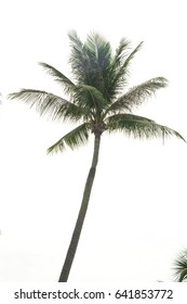 Coconut palm tree isolated on a white background.