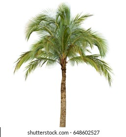 Coconut palm tree isolated on white background without fruits