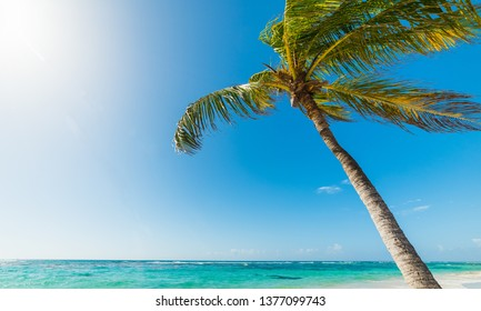 Coconut palm tree leaning over the sea in Raisins Clairs beach in Guadeloupe, French west indies. Lesser Antilles, Caribbean sea