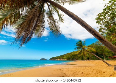 Coconut palm tree leaning over La Perle beach in Guadeloupe, French west indies. Lesser Antilles, Caribbean sea