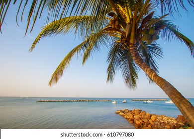 Coconut palm tree on a beach in Senegal, Saly.