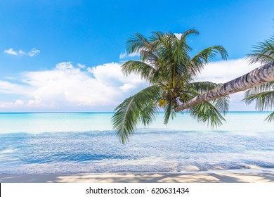 Coconut Palm tree on the white sandy beach.