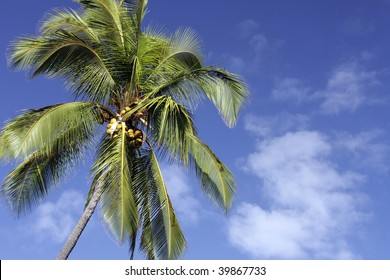 Coconut Palm Tree photographed in Hawaii
