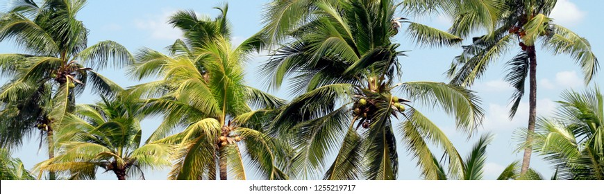 Coconut palm tree for plantation coconut background, Coconut palm for background of banner or advertising presentation products coconut fruit juice