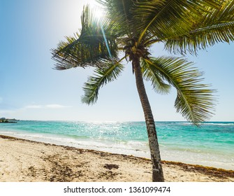 Coconut palm tree in Raisins Clairs in Guadeloupe, French west indies. Lesser Antilles, Caribbean sea