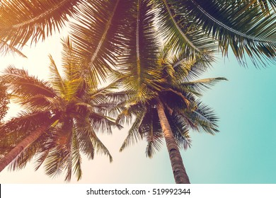 coconut palm tree and sky on beach. Vintage palm on beach in summer.